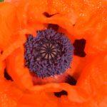 Center of an Orange Poppy 1