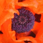 Center of an Orange Poppy 2