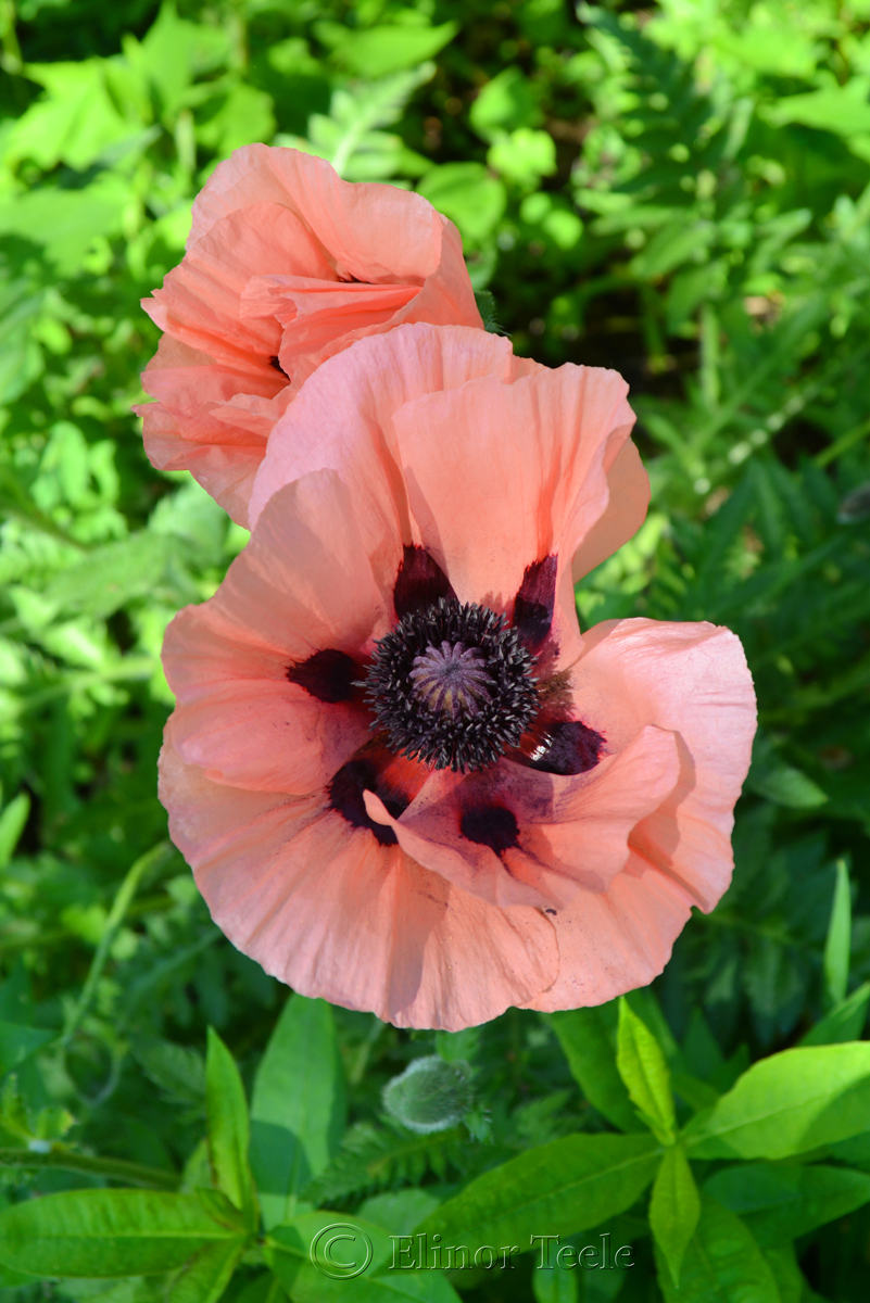 Pink Poppies in June