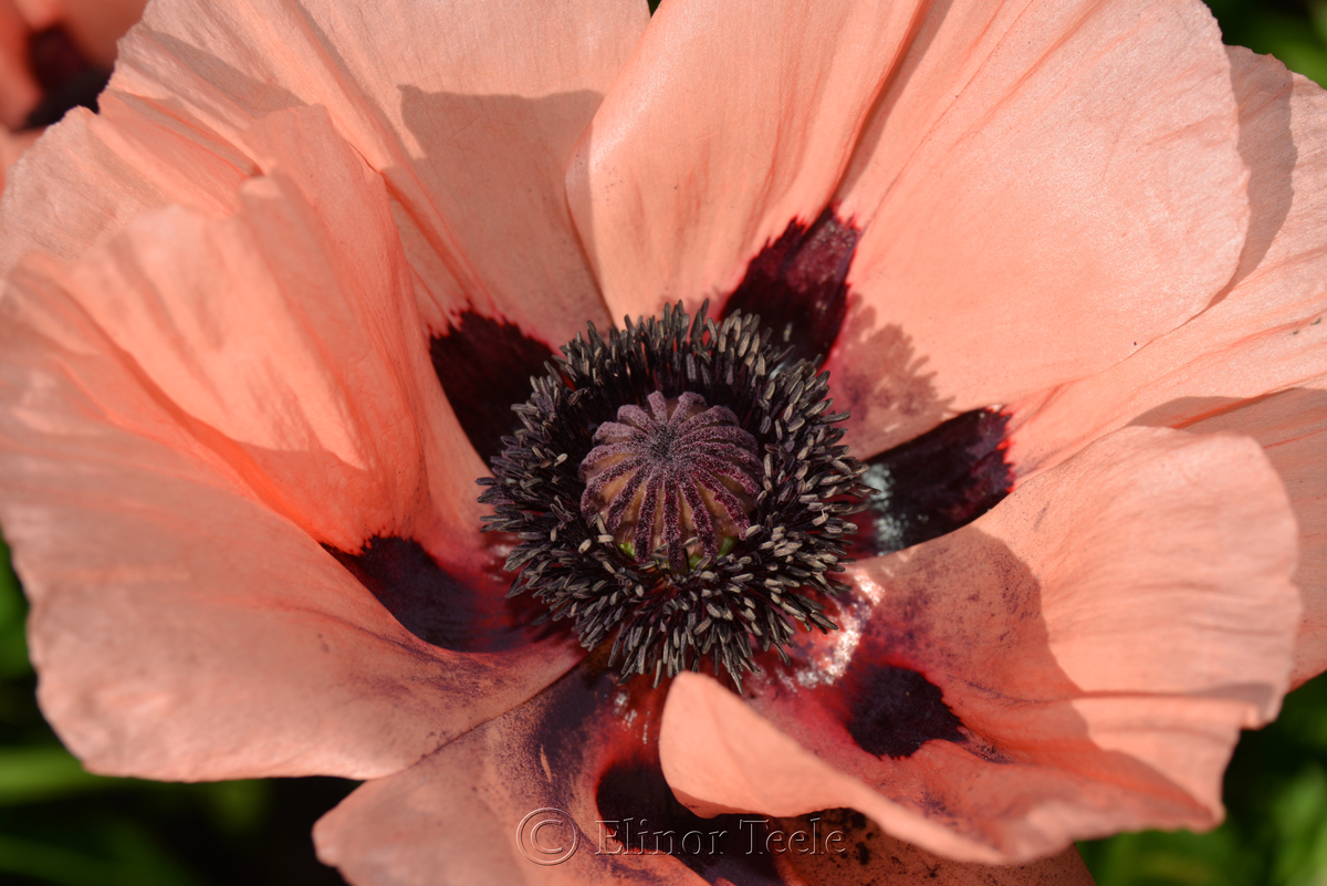 Pink Poppy in June 1