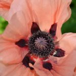 Pink Poppy in June 3