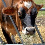 Dairy Cow, Appleton Farms