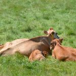 Sunbathing Cows, Appleton Farms