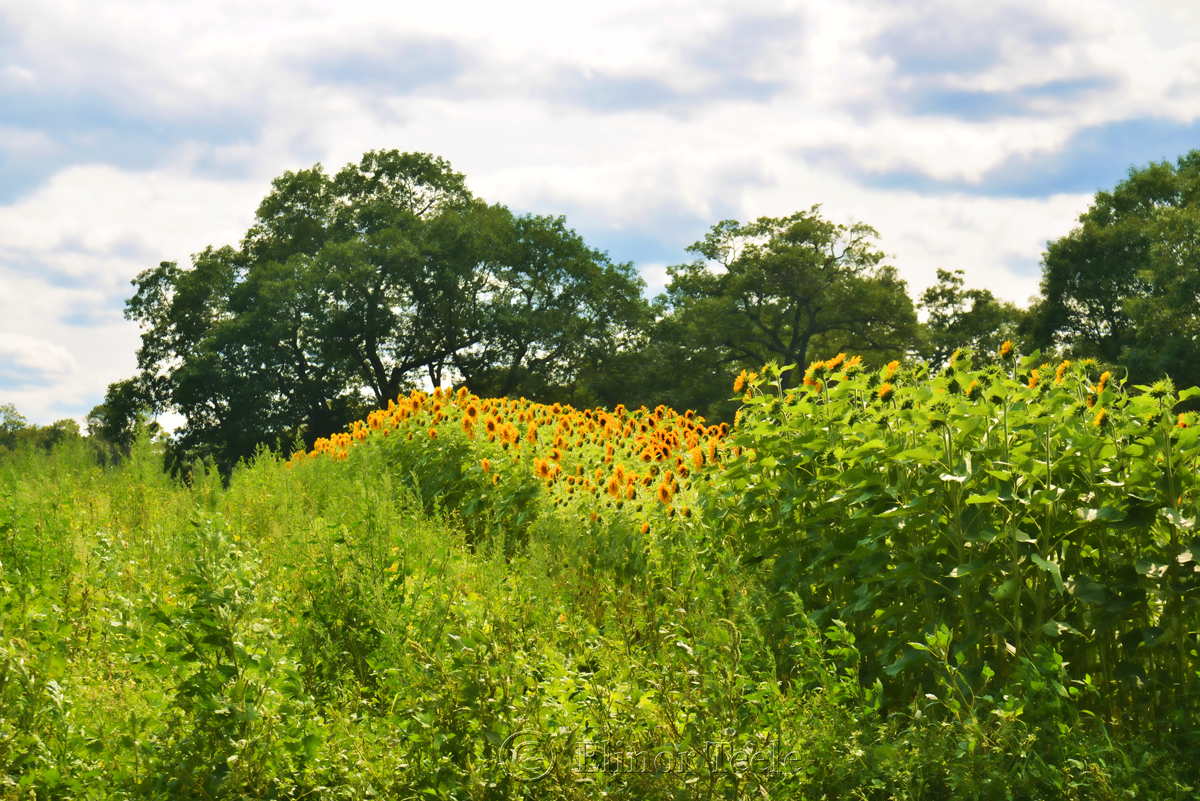 Sunflower Fields, Appleton Farms