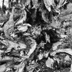 Fallen Tree, Appleton Farms