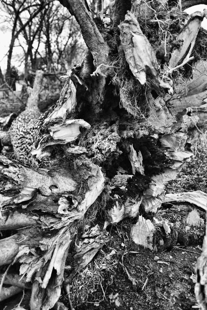 Fallen Tree, Appleton Farms