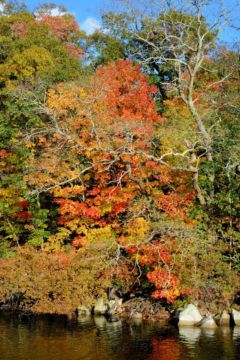 Fall Foliage - Maples 1