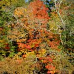 Fall Foliage – Maples 1