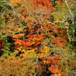 Fall Foliage - Maples 2