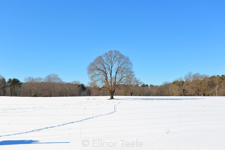 Lone Tree in Winter - Appleton Farms