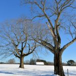 Trees & Jimmy's Barn in Winter - Appleton Farms
