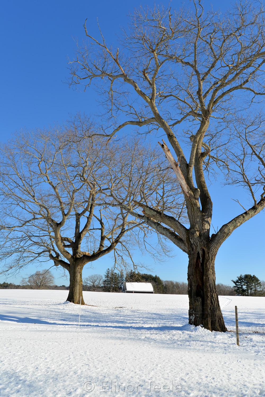 Trees & Jimmy's Barn in Winter - Appleton Farms
