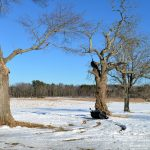 Trees in Winter - Appleton Farms