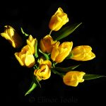 Yellow Tulips on Black Background 1