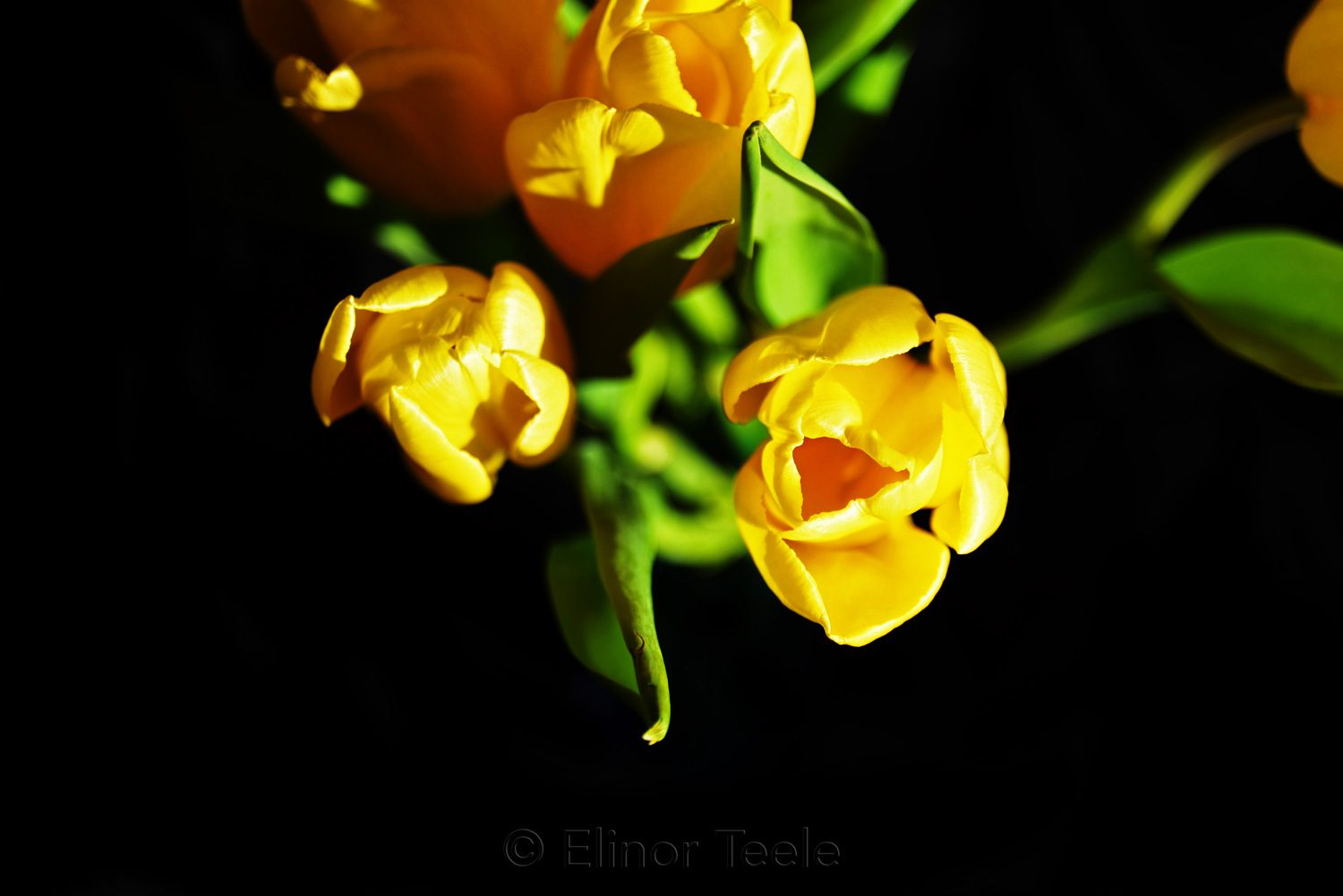 Yellow Tulips on Black Background 2