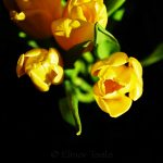 Yellow Tulips on Black Background 2