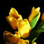 Yellow Tulips on Black Background 3