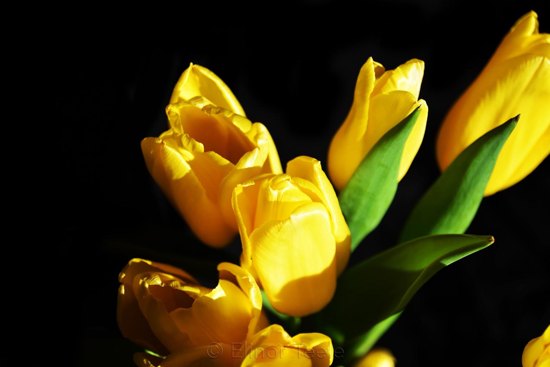 Yellow Tulips on Black Background 3