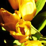 Yellow Tulips on Black Background 4