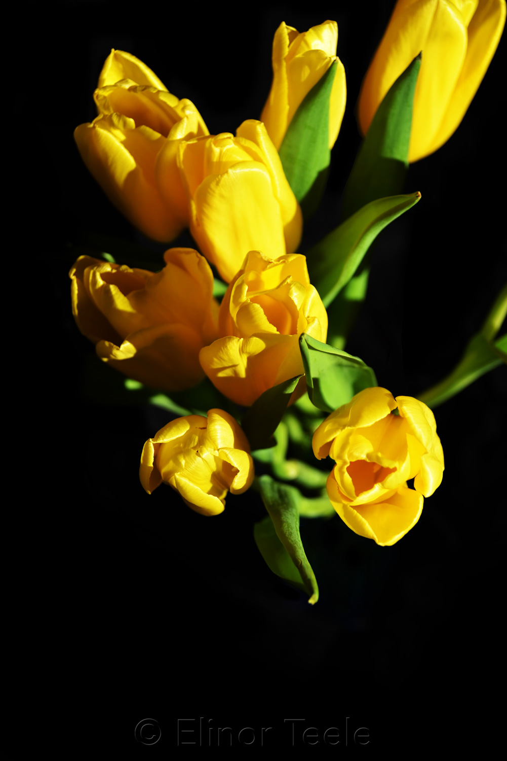 Yellow Tulips on Black Background 5