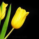 Yellow Tulips on Black Background 6