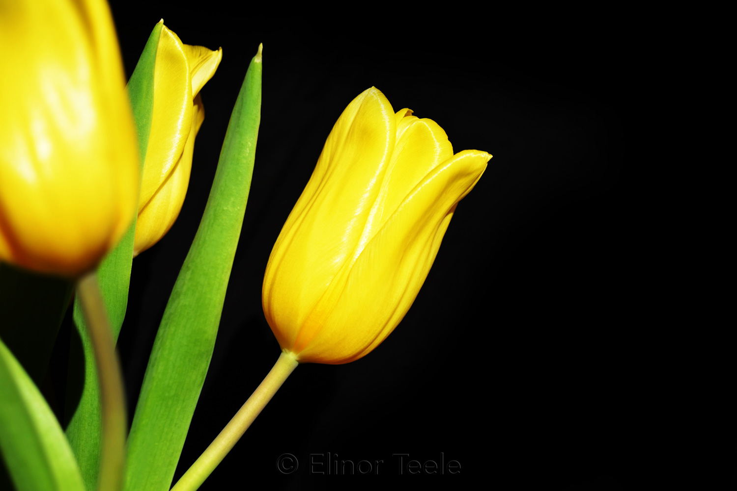 Yellow Tulips on Black Background 6