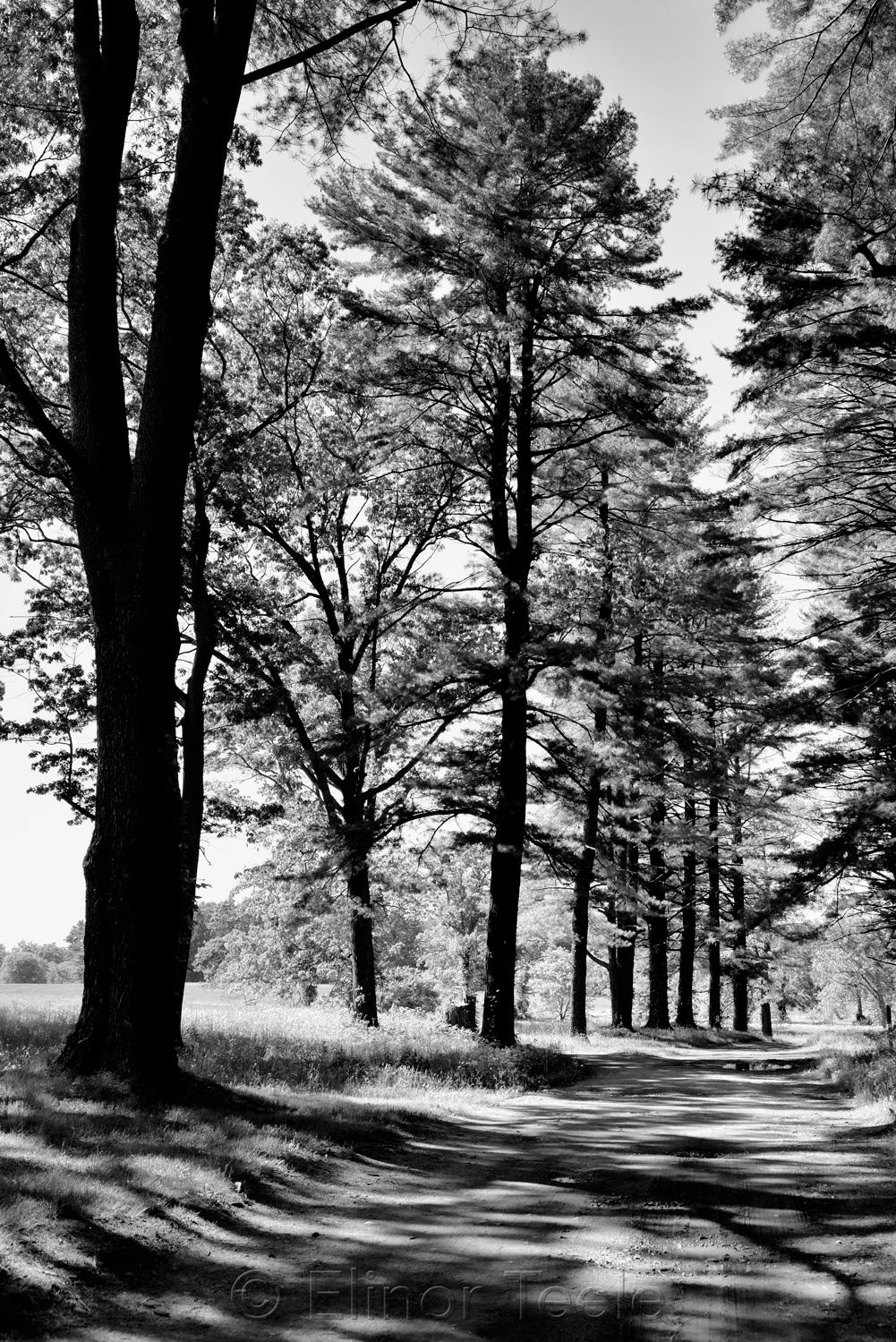 Alley of Evergreens, Appleton Farms (Black & White) 1