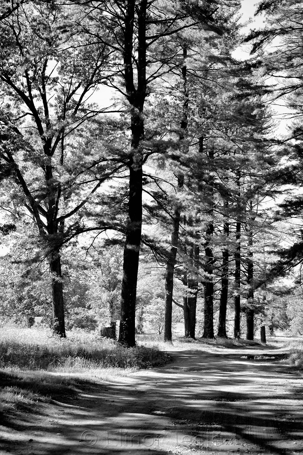Alley of Evergreens, Appleton Farms (Black & White) 2