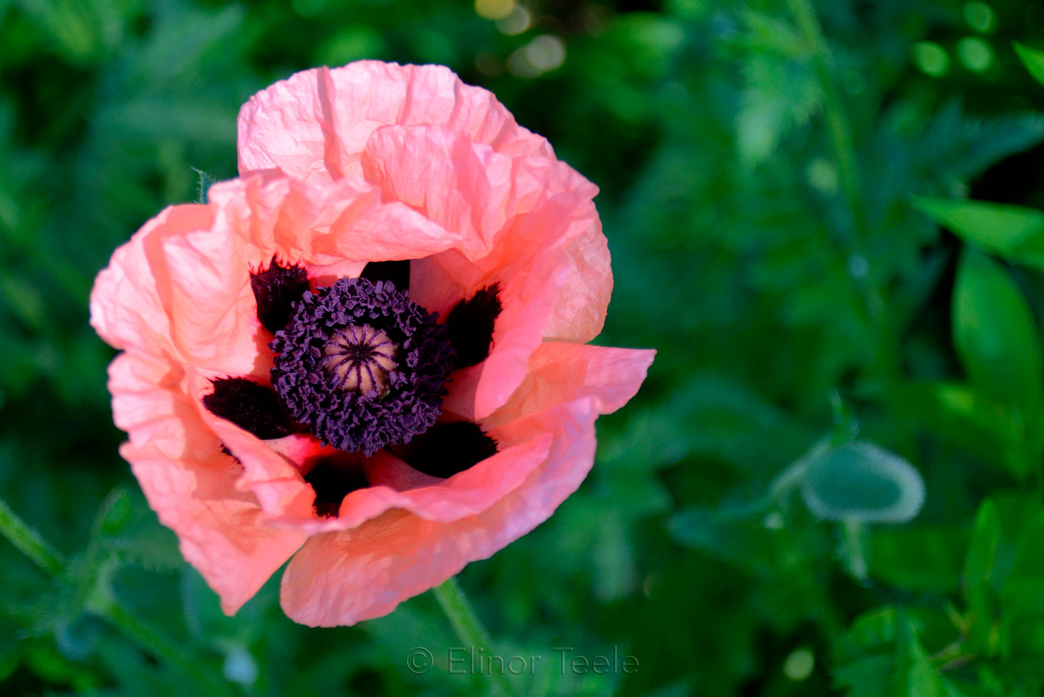 Pink Poppy and Bud