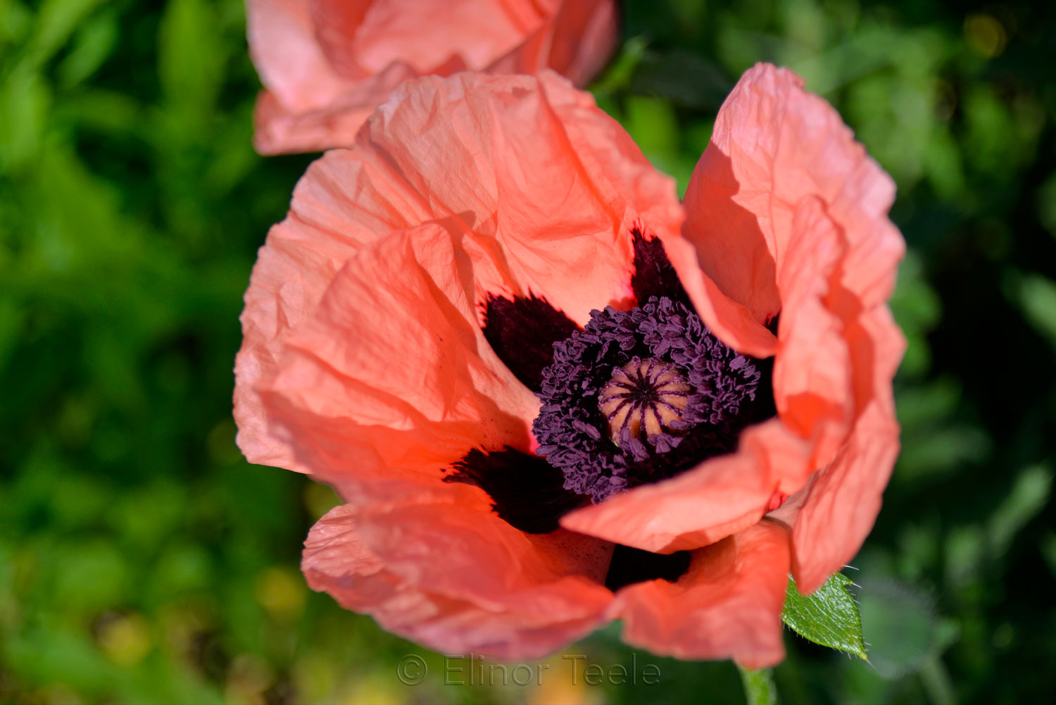 Purple Heart of a Poppy