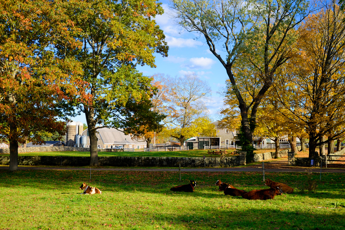 Appleton Farms - Fall Foliage - Cows