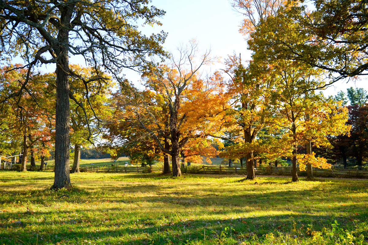 Appleton Farms - Fall Foliage - Orange Trees