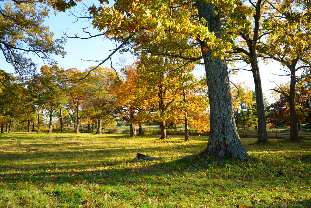Appleton Farms - Fall Foliage - Tree & Pasture