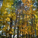 Appleton Farms - Fall Foliage - Tall Trees