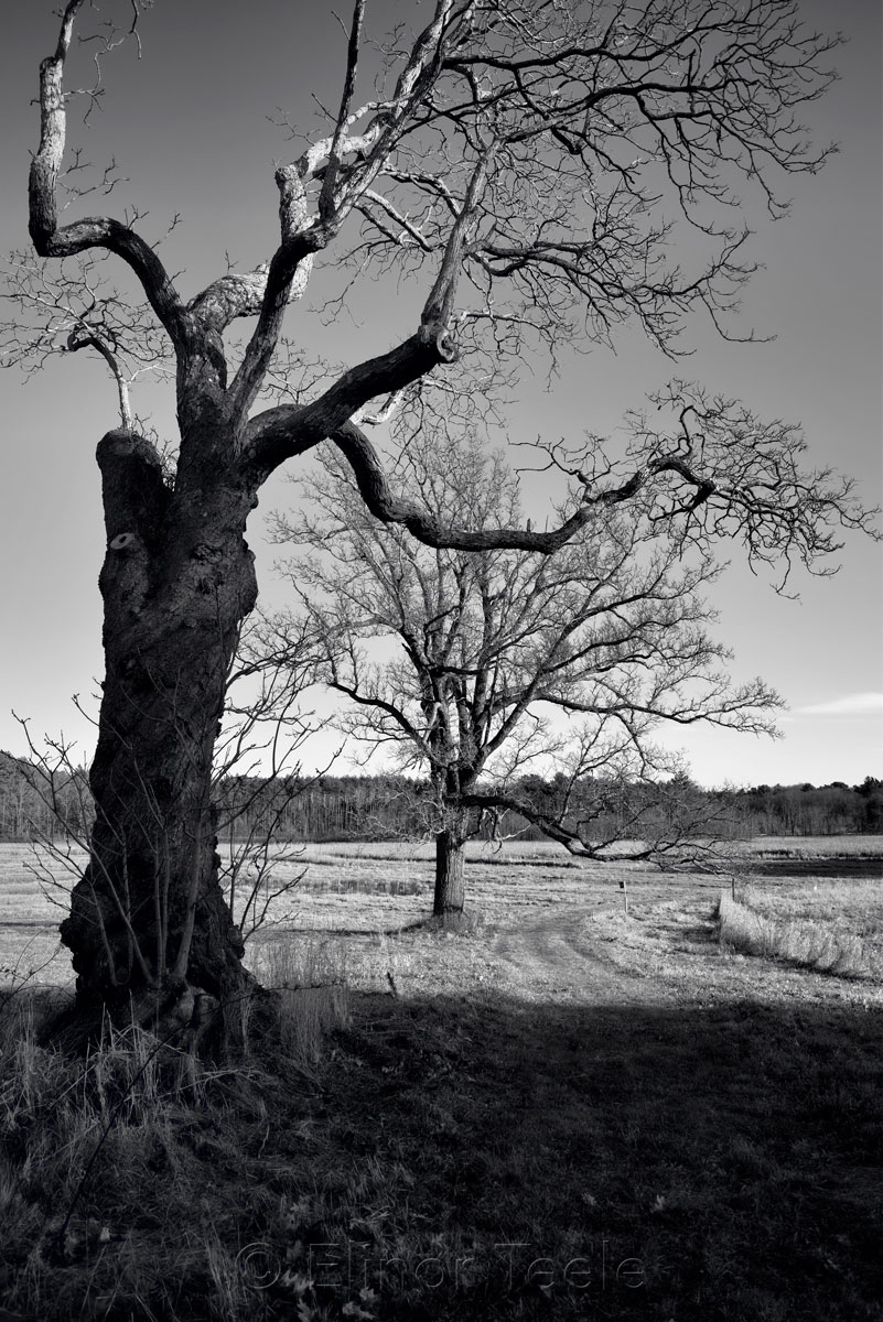 Appleton Farms - Leafless Trees 1