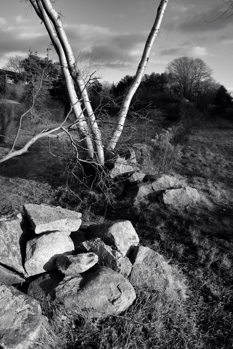 Stone Wall & Birch Tree - Black & White