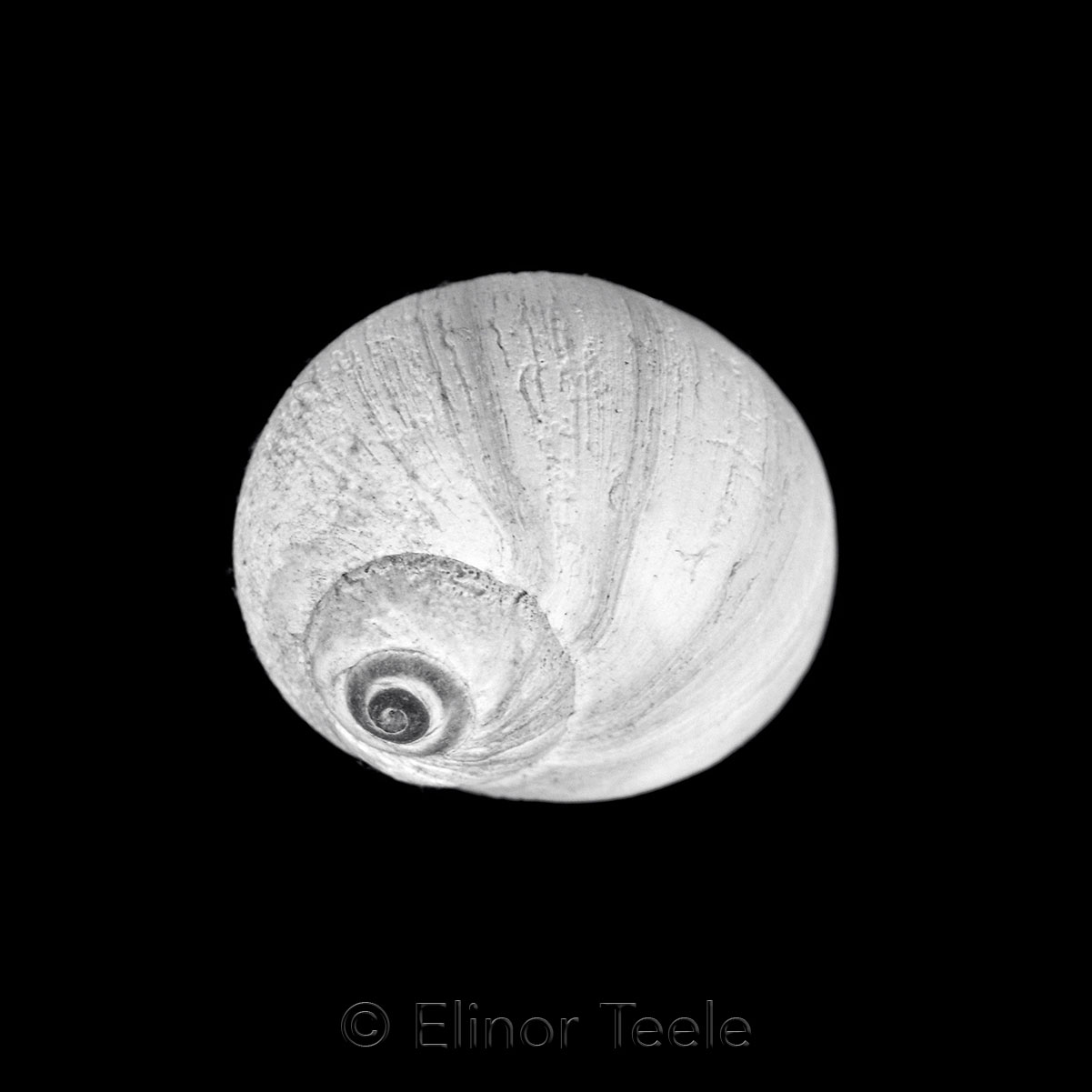 Moon Snail - Black & White