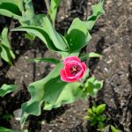 Pink Tulip in Bloom 2