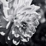 Dahlia - Black & White - Cropped 1