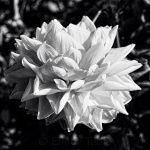 Dahlia - Black & White 1