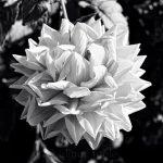 Dahlia - Black & White 2