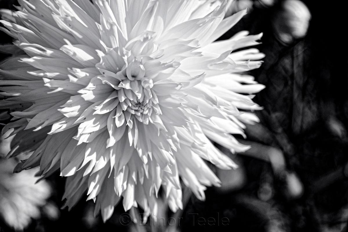 Dahlia - Black & White - Cropped 2