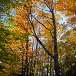 Fall Foliage - Golden Light 1