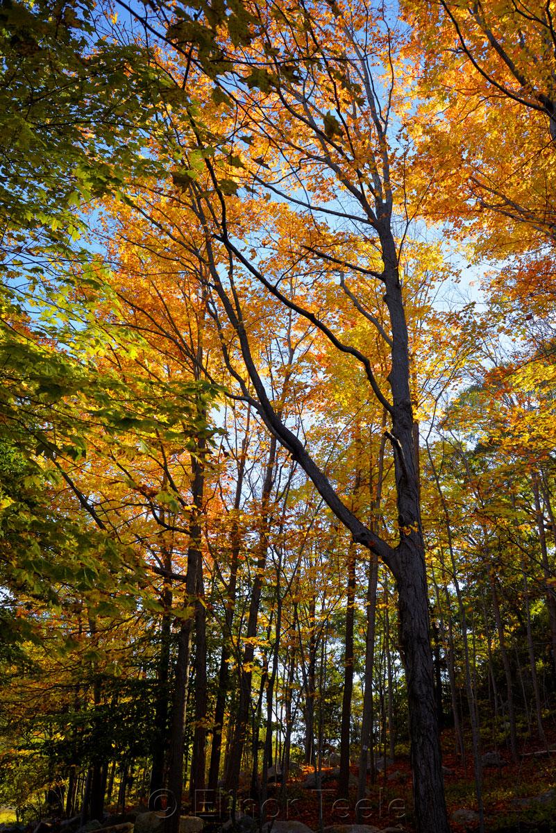 Fall Foliage - Golden Light 1