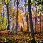 Fall Foliage - Golden Light 2
