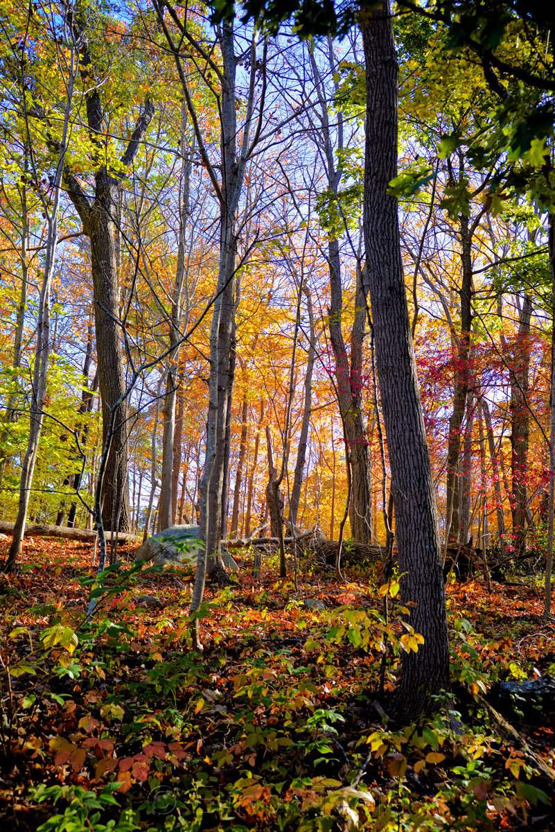 Fall Foliage - Golden Light 2