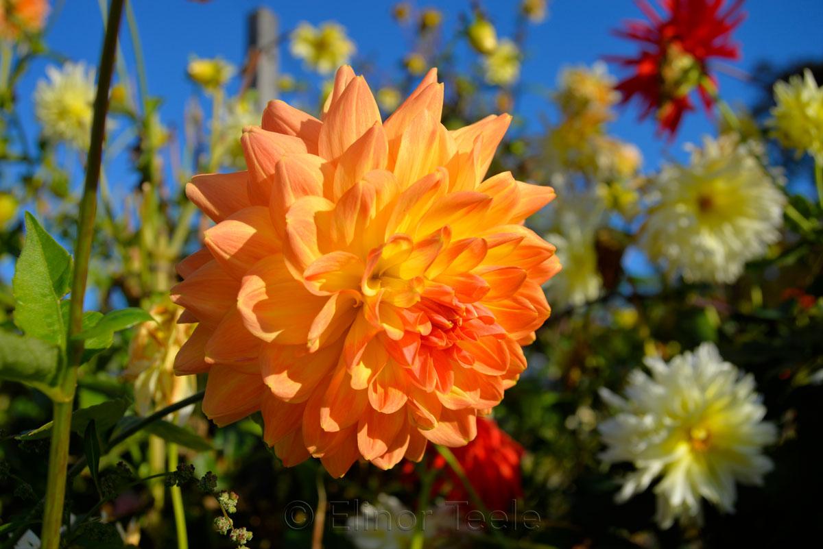 Orange Dahlia, Blue Sky