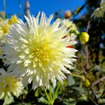 Yellow Dahlia, Blue Sky