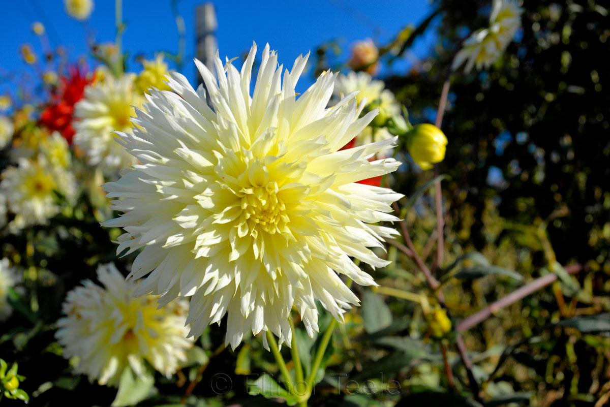 Yellow Dahlia, Blue Sky