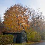 Shed & Tree - November Fog